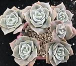 묵은 러블리로즈 Lovely Rose