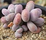 보톡스아메치스98 Graptopetalum amethystinum