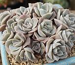 러블리로즈5몸모듬 Lovely Rose