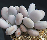 문스톤|Pachyphytum Oviferum Moon Stone