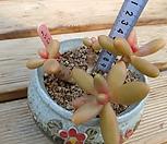 오비리데 자연군생 11.17|Pachyphytum Oviride