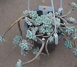 (11月)라울中65 Sedum Clavatum