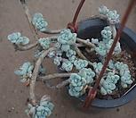 (11月)라울中67 Sedum Clavatum