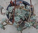 (11月)라울中72 Sedum Clavatum