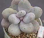오비포럼2091|Pachyphytum oviferum
