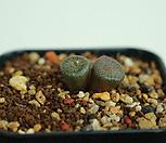 Co. ectipum ssp. brownii 브라우니 3두 (수입)|