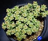 희성금3|Crassula Rupestris variegata