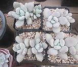 묵은 성미인|Pachyphytum oviferum