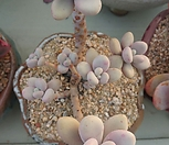 아메치스군생 Graptopetalum amethystinum