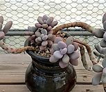 아메치스 자연군생 대품|Graptopetalum amethystinum