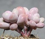 아메치스 자연군생 1-2556|Graptopetalum amethystinum