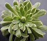 에오니움아이스|Aeonium canariense