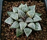 슈퍼화이트픽타 Haworthia picta