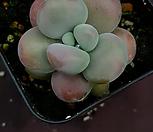 아메치스9 Graptopetalum amethystinum