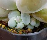 후레뉴(목대자구)3|Pachyphtum cv Frevel