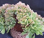 캐시미어철화 Aeonium Velour