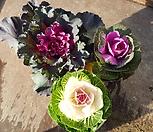 꽃배추(3종류 ) 소품 색상선택가능|