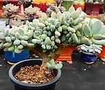 이미인 철화_r406|Pchyphytum oviferum mikadukibijin