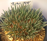 알스토니 백화 Avonia quinaria ssp Alstonii
