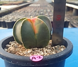 A-2. Astrophytum myriostigma var. variegata 홍엽 청난봉옥|