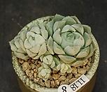 휴밀리스-10두(11.18)|Echeveria hughmillus