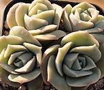 러블리로즈 자연군생5031 Lovely Rose