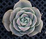 러블리로즈 6016 Lovely Rose