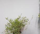 에리카/단품1/야생화/월동가능/공룡꽃식물원|