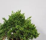진백1/단품/향나무/나무|