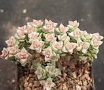 희성금1573|Crassula Rupestris variegata