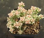 희성금1574|Crassula Rupestris variegata