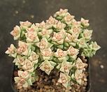 희성금1575|Crassula Rupestris variegata