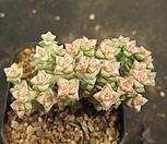 희성금1576|Crassula Rupestris variegata