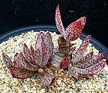 615.묵은희어소금|Adromischus maculatus