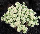 희성금1119|Crassula Rupestris variegata