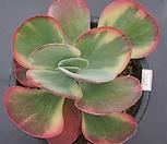 당인금2227|Kalanchoe thysifolia