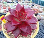 루밍(원종레드에보니)수입11-733 Echeveria agavoides ebony red