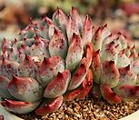 시모야모콜로라타|Echeveria colorata