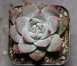 야생콜로라타 1-2569|Echeveria colorata