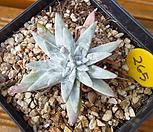 화이트그리니 3두분지 Dudleya White gnoma(White greenii / White sprite)