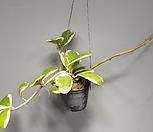 무늬하트호야/중품/하트호야/호야/공룡꽃식물원|Hoya carnosa