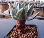 환엽블러프레쳐스|Dudleya farinosa Bluff Lettuce