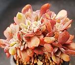 브라이언로즈철화1124-5 Echeveria Briar Rose