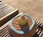 부르게리-|Conophytum burgeri