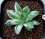 옵투사 (마린금)|Haworthia cymbiformis var. obtusa