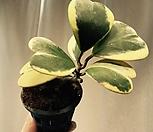 하트호야 화이트(hanging)|Hoya carnosa