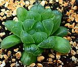 대형 옵투샤_m12|Haworthia cymbiformis var. obtusa