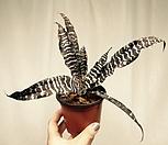 조나투스 cryptanthus zonatus - 브로멜리아드|