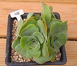 기간티아 8두적심군생 Greenovia diplocycla var.gigantea