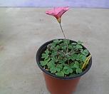 옵투샤라즈베리(사랑초)|Haworthia cymbiformis var. obtusa